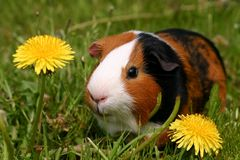 Free Guinea Pig Royalty Free Stock Photography - 772427