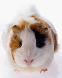 Guinea pig. On a white background Stock Image