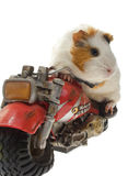 Guinea pig. On a motorcycle. White background Stock Images