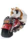 Guinea pig. On a motorcycle. White background Stock Photos
