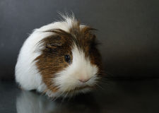 Guinea-pig. Blackly-white guinea-pig on a dark background Royalty Free Stock Photo