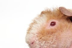 Guinea pig Stock Images