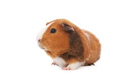 Guinea pig. On white background Stock Photos