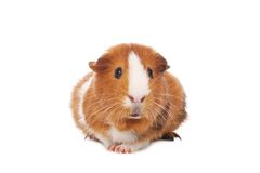 Free Guinea Pig Stock Photo - 8858770