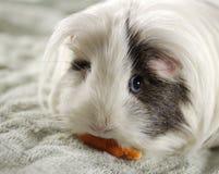 Guinea Pig. A guinea pig eating a carrot Stock Images