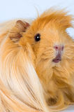 Guinea-pig. Porpoise red окраса on a neutral background Stock Photography