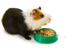 Guinea-pig Royalty Free Stock Photos