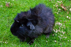 Guinea pig animal fauna pet zoo Stock Photos