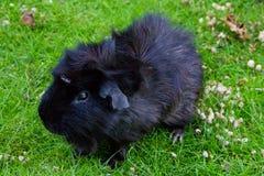 Guinea pig animal fauna pet zoo. Guinea pig black mammal food Stock Photos