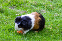 Guinea pig animal fauna pet zoo Royalty Free Stock Photography
