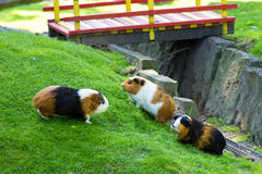Guinea pig animal fauna pet zoo nice friendship Royalty Free Stock Image