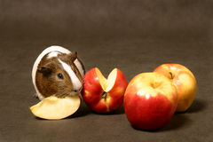 Guinea pig with aplles. Guinea pig Stock Images