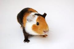 Guinea pig on apple Royalty Free Stock Photos