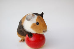 Guinea pig on apple. On white background Royalty Free Stock Photo