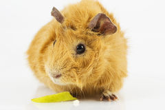 Guinea pig with apple Royalty Free Stock Photo