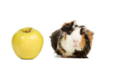Guinea pig and an apple Stock Image