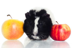 Guinea pig with apples Stock Image
