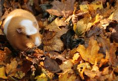 Guinea pig in autumnal leaves. Cavy (guinea pig) nesting in autumn leaf fall - complementary colors in shades of brown - and sunlight Stock Photo