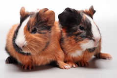 Guinea pig babies on gray. Guinea pig babies (5 days) on white background Royalty Free Stock Photo
