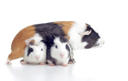 Guinea pig with babies royalty free stock image