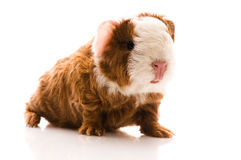 Guinea pig. baby Stock Photography