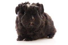 Guinea pig. baby Stock Photo