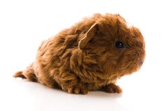 Guinea pig. baby Stock Images