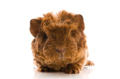 Guinea pig. baby Stock Image