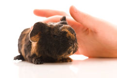 Guinea pig. baby Royalty Free Stock Photos