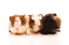 Guinea pig. baby Royalty Free Stock Images