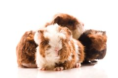 Guinea pig. baby Royalty Free Stock Photo