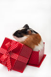 GUINEA PIG BABY GIFT BOX BOW Royalty Free Stock Photography