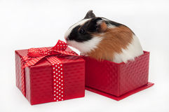 GUINEA PIG BABY GIFT BOX BOW Royalty Free Stock Photo