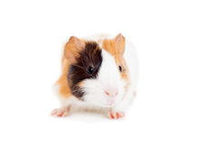 Guinea pig baby Royalty Free Stock Photos