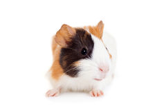 Guinea pig baby Stock Photography