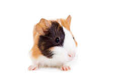 Guinea pig baby Royalty Free Stock Image