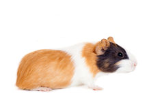 Guinea pig baby Royalty Free Stock Photography