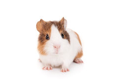 Guinea pig baby. Isolated on white background Royalty Free Stock Image