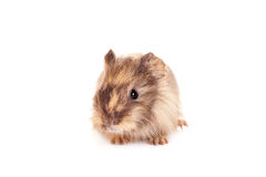 Guinea pig baby Royalty Free Stock Images