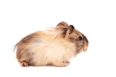 Guinea pig baby Stock Images