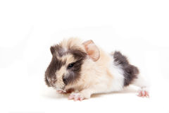 Guinea pig baby Stock Image