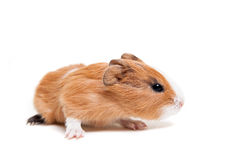 Guinea pig baby Royalty Free Stock Photo