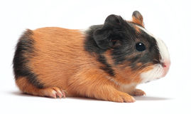 Guinea pig baby on white Stock Photos