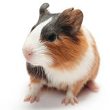 Guinea pig baby on white. Guinea pig baby (2 weeks) isolated on white background Stock Photo