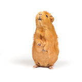Guinea pig bags. Guinea pig stands on its hind legs (ramps royalty free stock photography