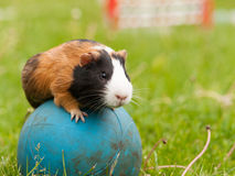 Guinea pig on the ball Stock Image