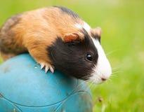 Guinea pig on the ball Stock Photos