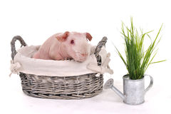 Guinea Pig in a Basket Stock Photography