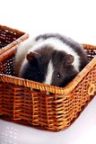 Guinea pig in a basket Stock Photo