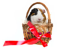 Guinea pig in a basket Royalty Free Stock Photos